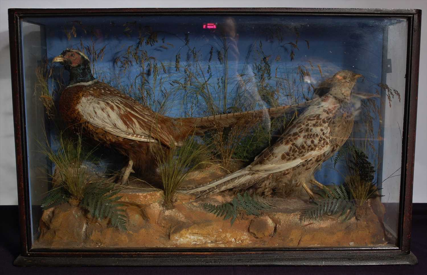 Lot 20-A pair of early 20th century taxidermy male and female pheasants