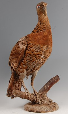 Lot 11-A taxidermy female Capercaillie (Tetrao urogallus)
