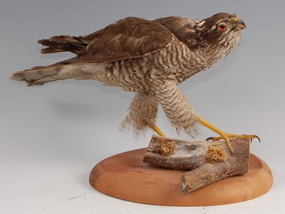 Lot 13-An early 20th century taxidermy female Sparrowhawk (Accipter nisus)