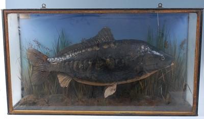 Lot A taxidermy Mirror Carp (Cyprinus carpio...